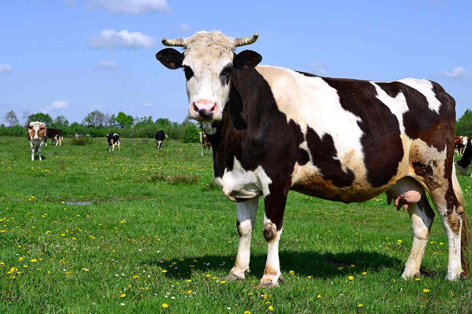 Kuh nimmt Wanderer auf die Hörner und stößt ihn Böschung hinab