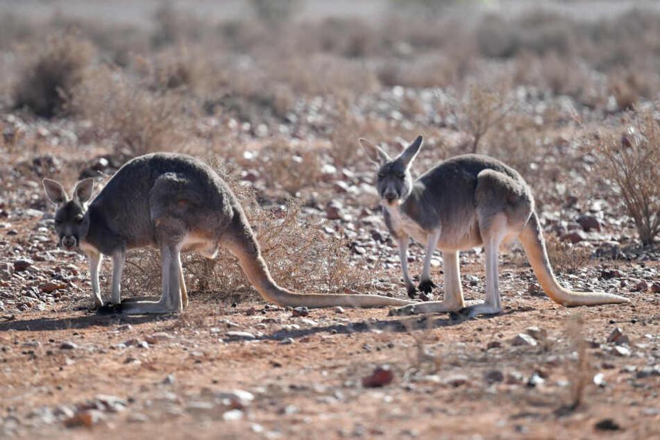 Aus Kängurus darf bald Tierfutter gemacht werden.