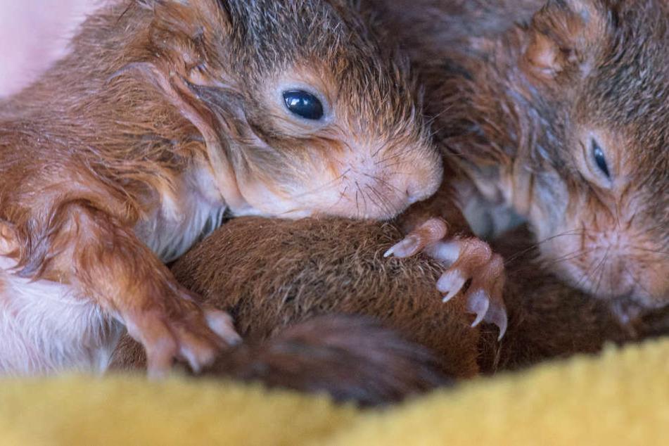 Was tun, wenn Ihr plötzlich ein Eichhörnchen-Baby findet?