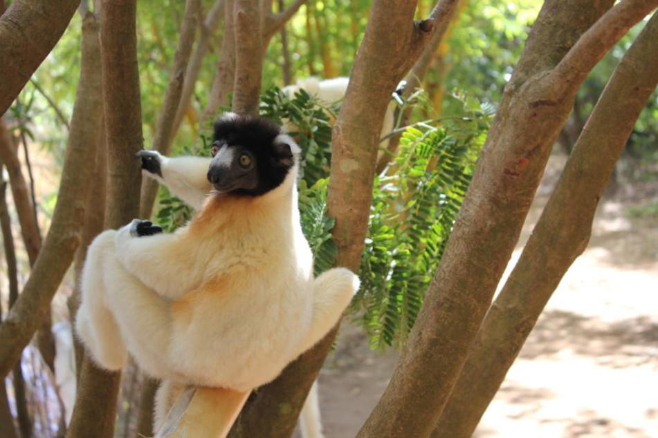 Ein Lemur der Art Kronensifaka sitzt in einem privaten Tierreservat in Ampandrana südöstlich der madagassischen Hauptstadt Antananarivo auf einem Baum.