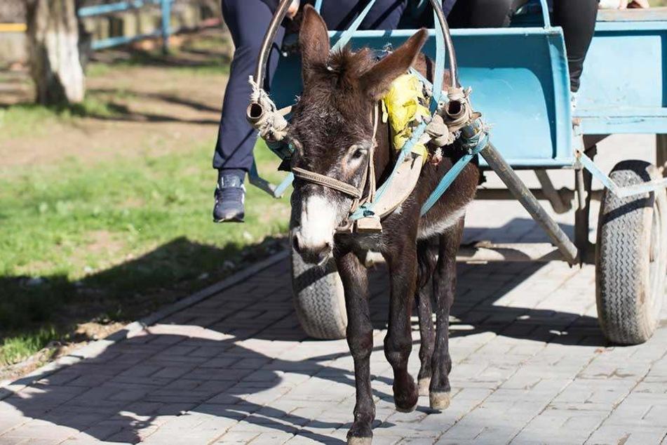 Der Ort sucht gerade Deutschlandweit nach Eseln für sein Esel-Taxi.