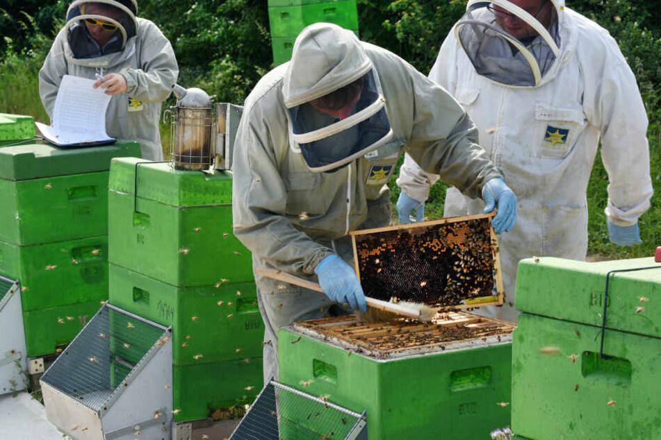 Das betroffene Bienenvolk wurde getötet - die Krankheit hatte sich aber nicht ausgebreitet. (Symbolbild)