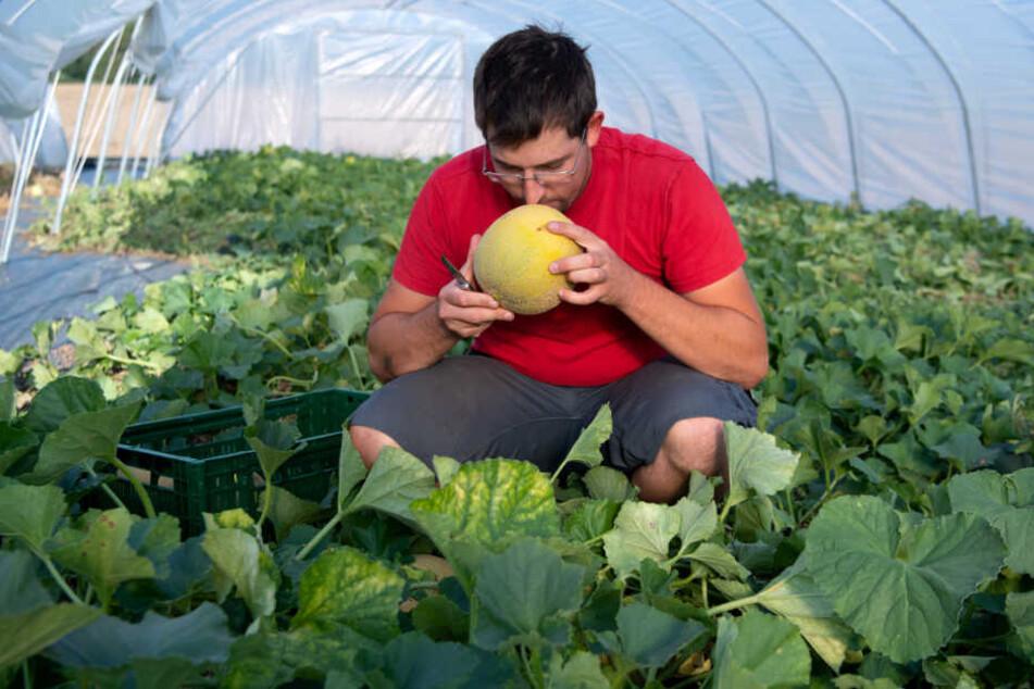 Die Qualität der Melonen überzeugt Ditterts Kunden.