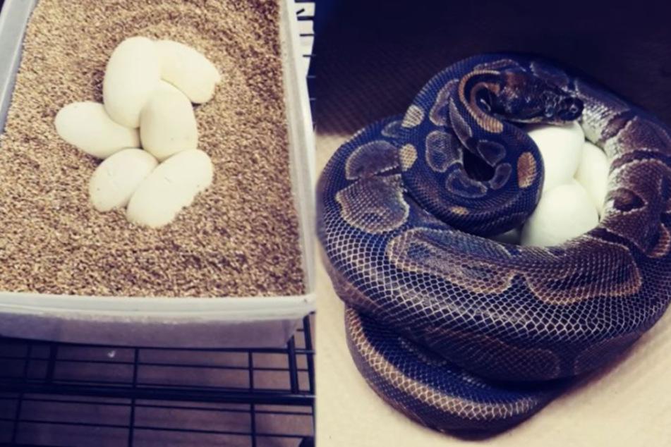 Experten völlig baff: Weiblicher Zoo-Python, der 20 Jahre lang allein lebte, legt plötzlich Eier!