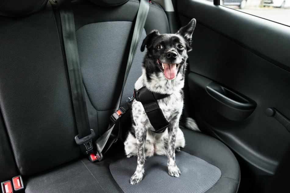 Es gibt Spezialgurte, die am Geschirr des Hundes befestigt werden können und so für mehr Sicherheit bei der Autofahrt sorgen.