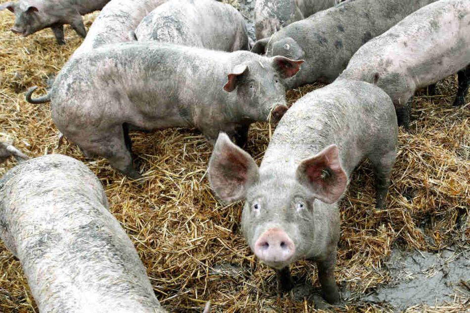 Einige Schweine liefen auf die Hauptstraße.