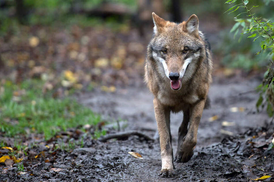 Rund 80.000 Menschen haben gegen den Abschuss von Wolf Pumpak gestimmt. (Symbolbild)