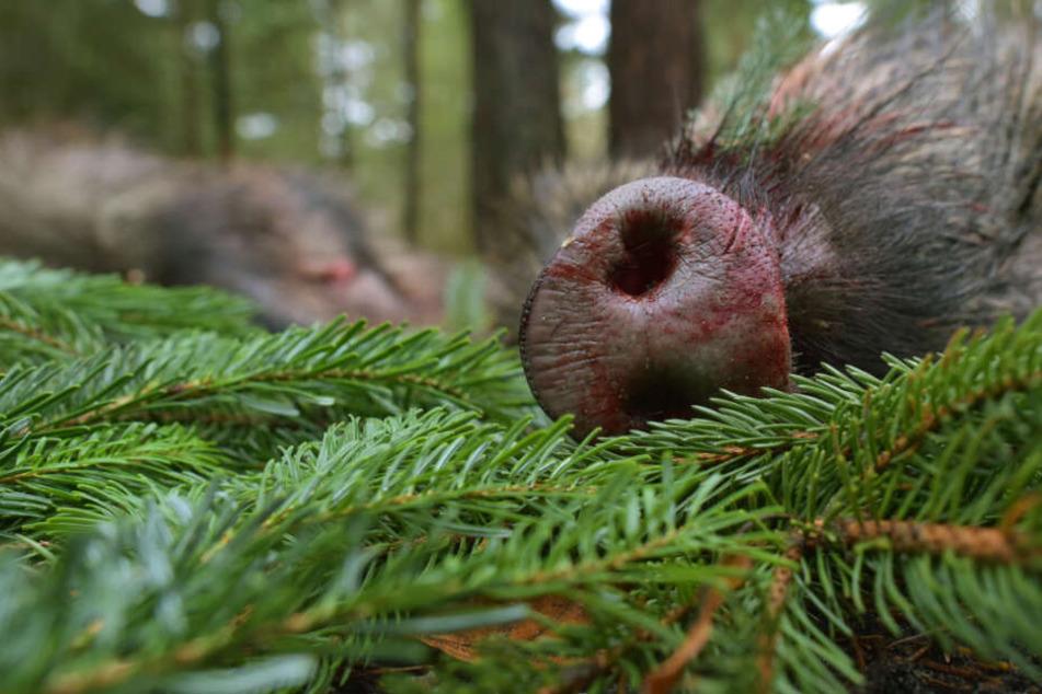 Bei Leipzig: Spaziergänger findet abgetrennten Tierkopf und Hautreste
