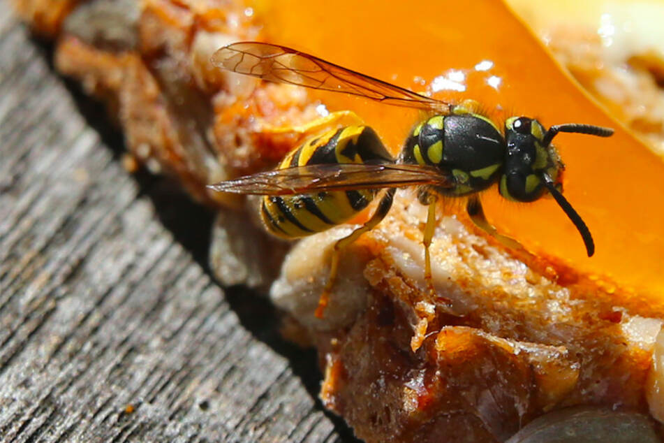Penetrant und aggressiv: Deshalb sind Wespen gerade besonders aufdringlich