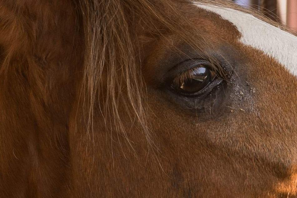 Mann vergewaltigt Pferd mehrfach: Vor der Polizei begründet er dies völlig absurd