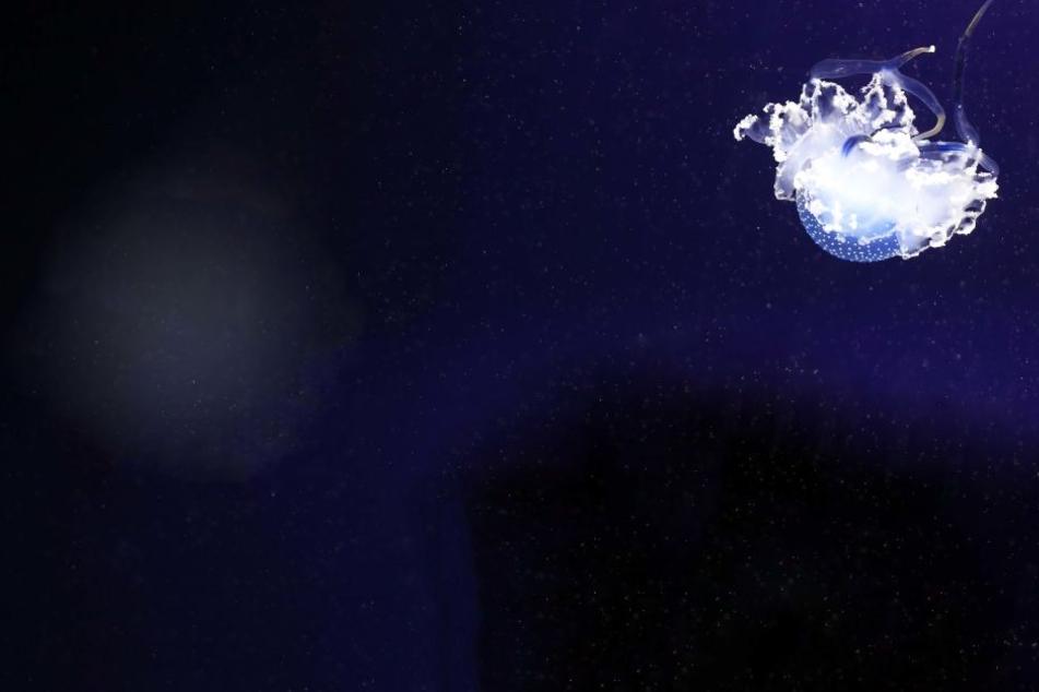 Aufgrund der steigenden Wassertemperaturen finden sich immer mehr Süßwasserquallen im Bodensee. (Symbolbild)