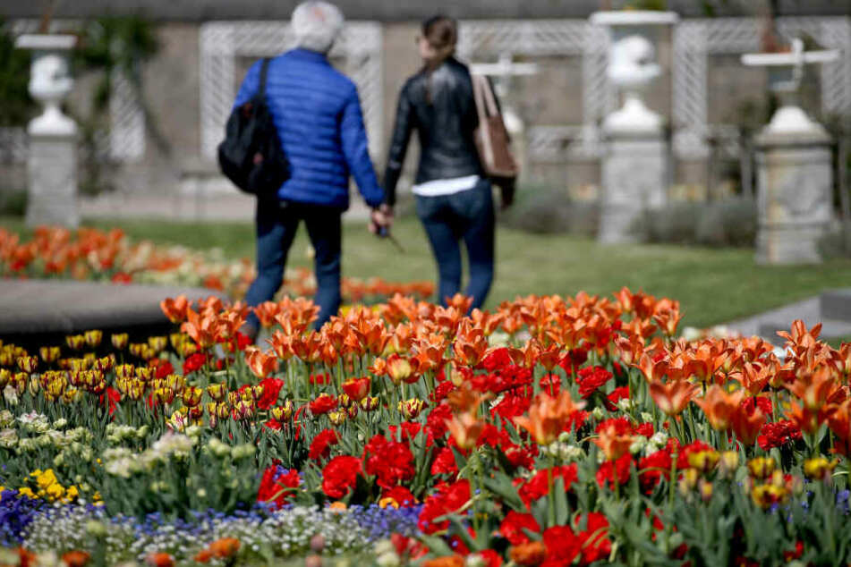 Bei soviel Sonne blühen die Tulpen auf.