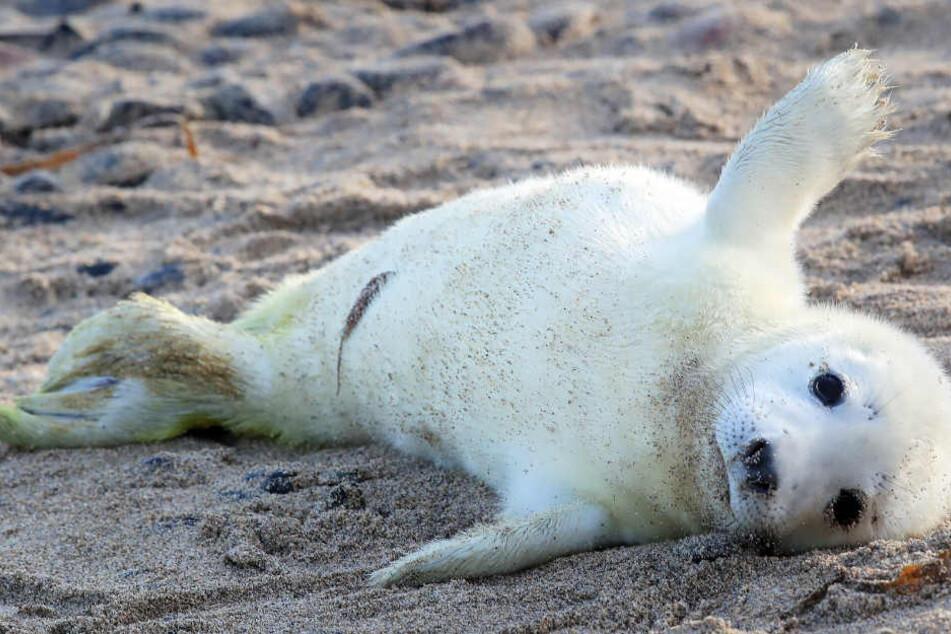Der Robben-Nachwuchs genießt die Zeit am Strand.