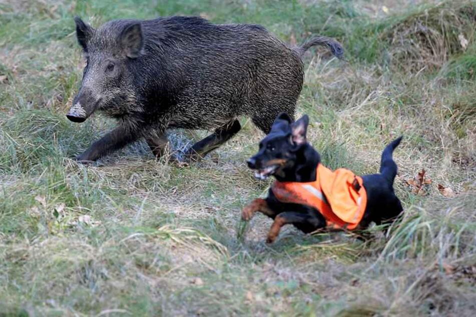 Ein Hund musste nach einer Wildschweinjagd eingeschläfert werden. (Symbolbild)