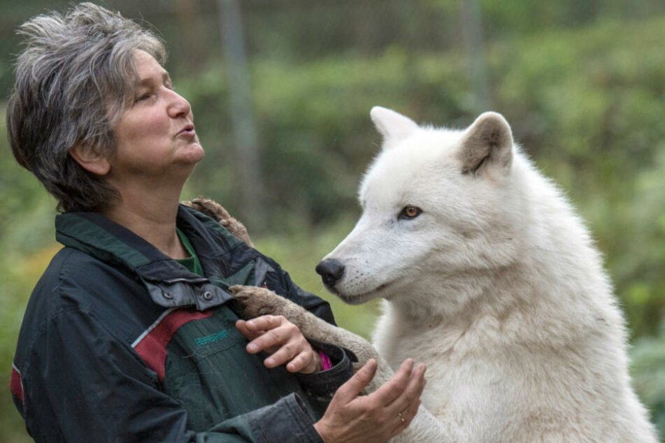 Polarwolf Scott ist ebenfalls gesundheitlich angeschlagen.