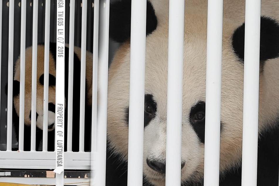 Endlich: Die Pandas sind am späten Nachmittag in Berlin gelandet.
