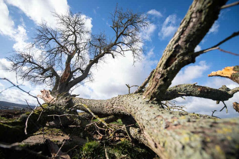 Die 63-Jährige wurde von einem umstürzenden Baum erfasst.
