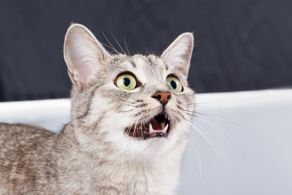 Die schnatternde Katze fixiert ihre Beute.