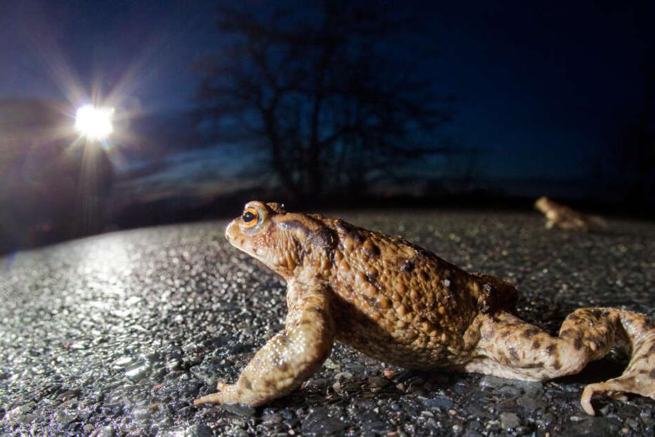 Die Krötenwanderung beginnt: Die ersten Tiere machen sich bei feuchtem und mildem Wetter auf den Weg zu ihren Laichgewässern.