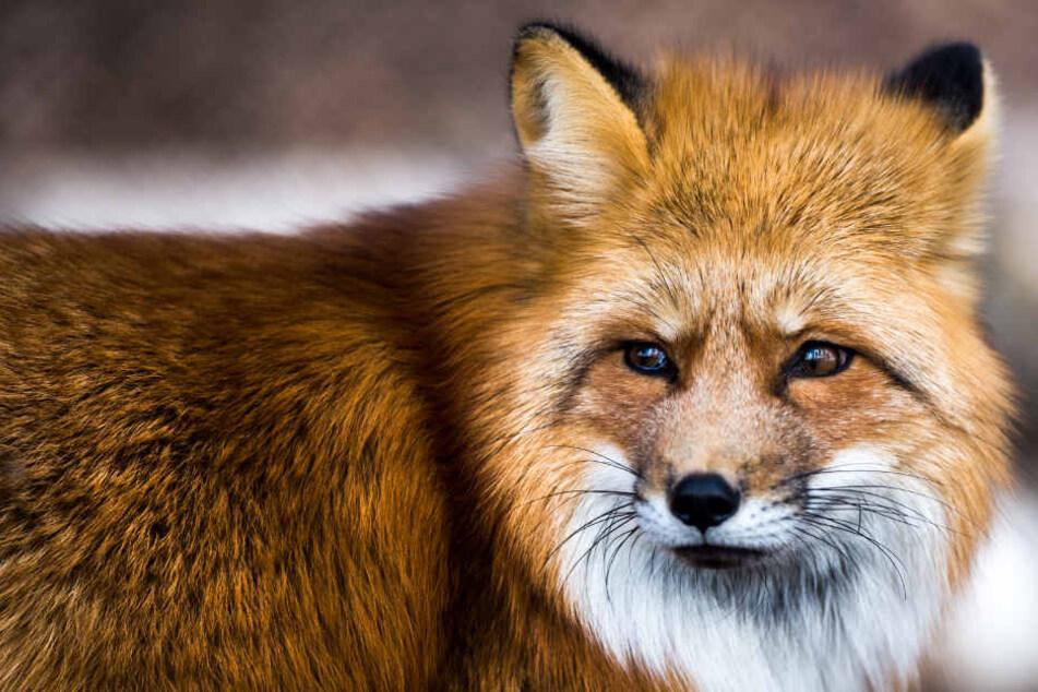 In Europa leben die Erreger des Fuchsbandwurms vor allem im Darm von Rotfüchsen.