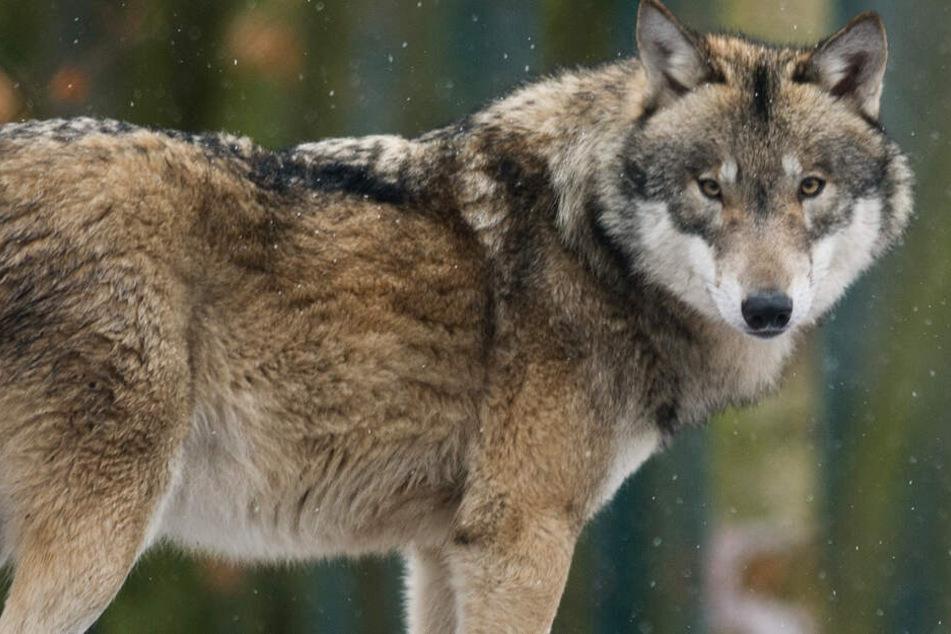 Seit rund einem Monat streunt ein entlaufener Wolf durch Hessen (Symbolbild).