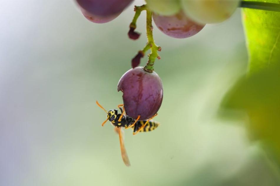 Tipps Und Tricks Gegen Wespen So Habt Ihr Endlich Frieden Am Tisch