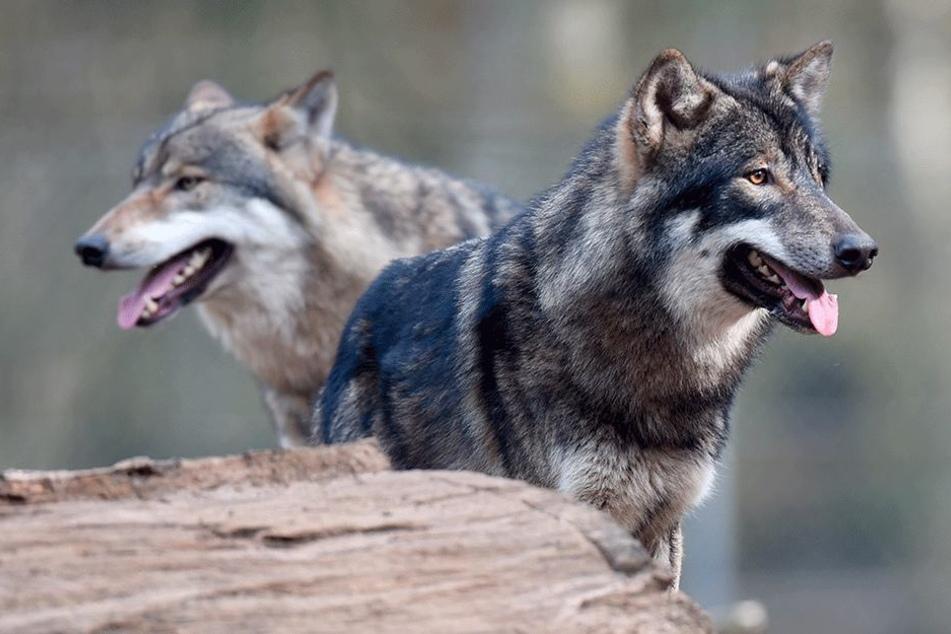 """Sind diese Wölfe """"reinrassig""""?"""