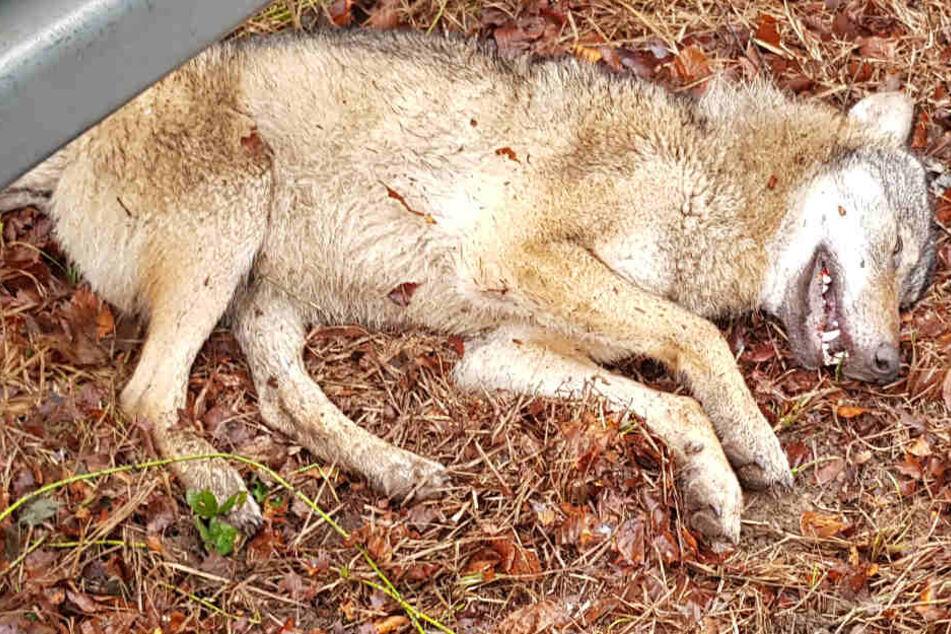Dieses Foto der Polizei in Frankfurt zeigt den totgefahrenen Wolf bei Frankfurt.