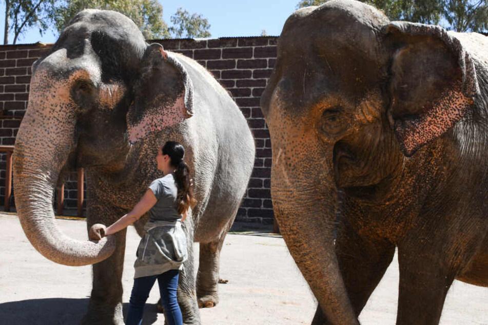Zwei Elefantendamen des Circus Krone sollen in Spanien ihren Ruhestand genießen.