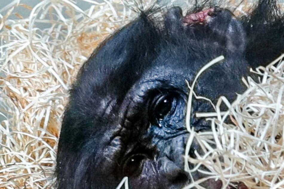 Gebissener Bonobo im Zoo Wuppertal: Experten von vermeintlichen Tierschützern beschimpft