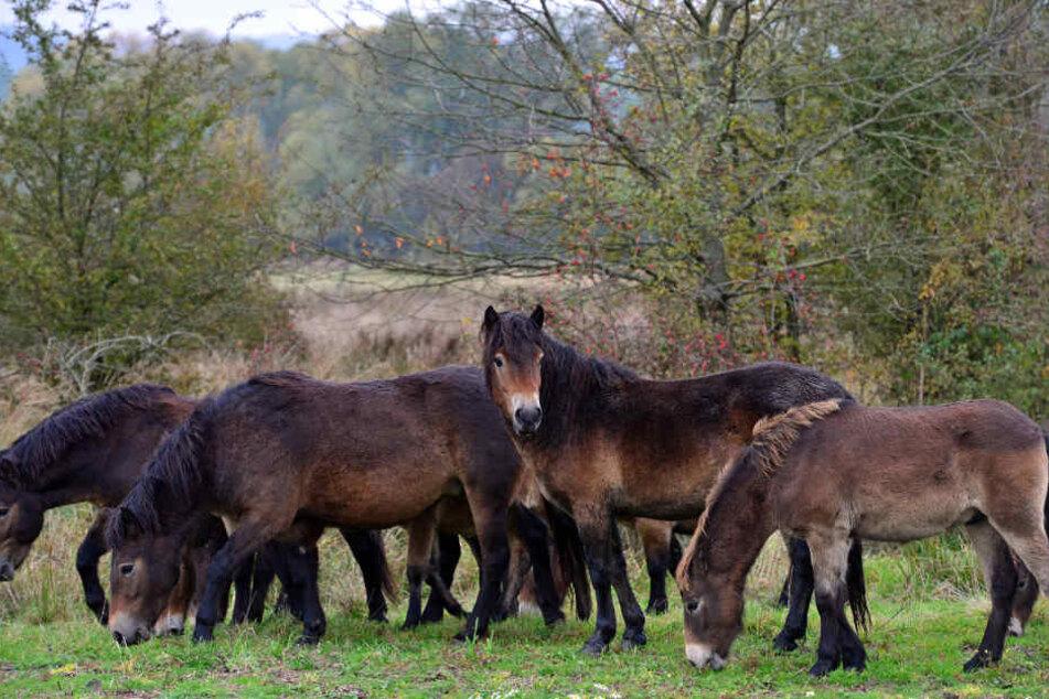 Die Ponys waren aus ihrer Koppel ausgebrochen. (Symbolbild)