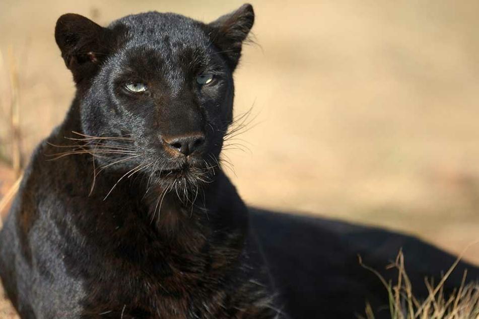 Eine schwarzer Jaguar griff im Zoo eine Frau an, die eine Absperrung überstiegen hatte.