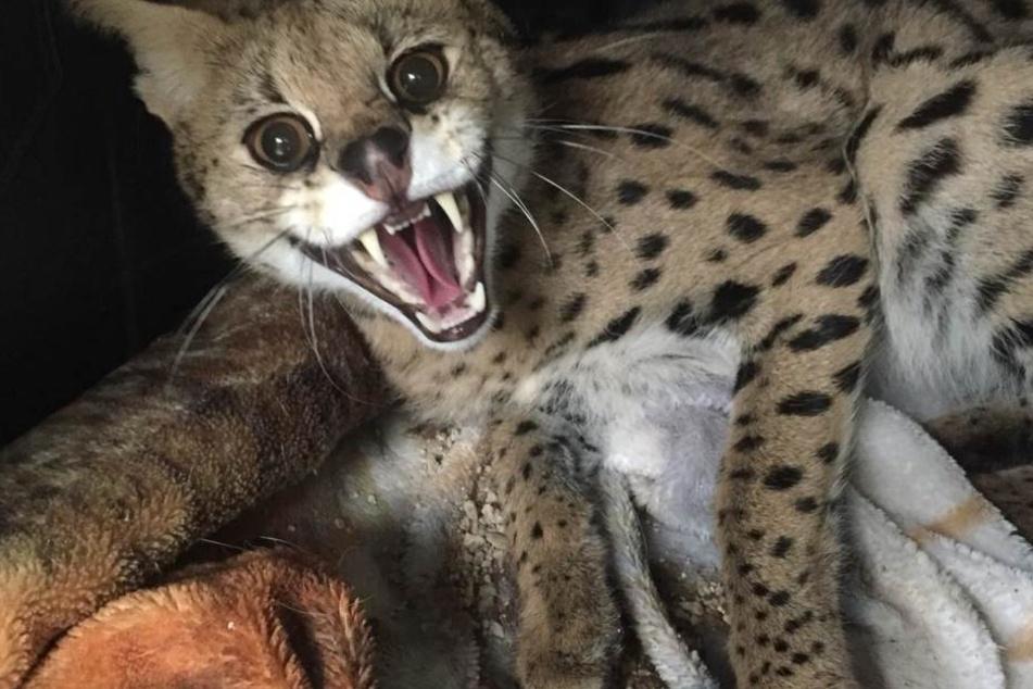Der Serval stammt aus Afrika und ist eine geschützte Wildkatzenart.