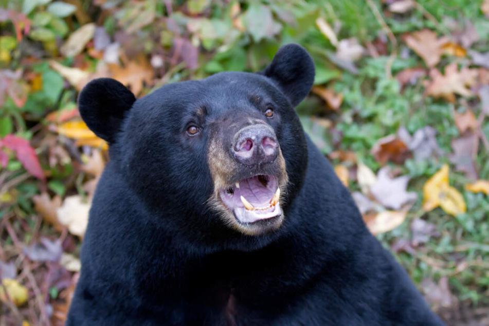 Casey wurde nach eigener Aussage zwei Tage lang von einem schwarzen Bär beschützt. (Symbolbild)