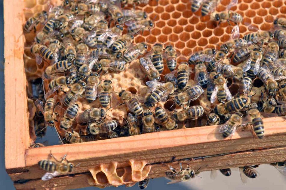 In Westhessen wurde einem Mann ein Bienenvolk geklaut. Nun sucht die Polizei auf Facebook nach Hinweisen. (Symbolbild)