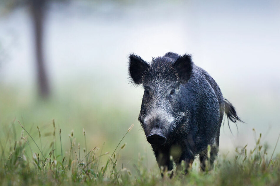 Ein Wildschwein war der Übeltäter (Symbolbild).