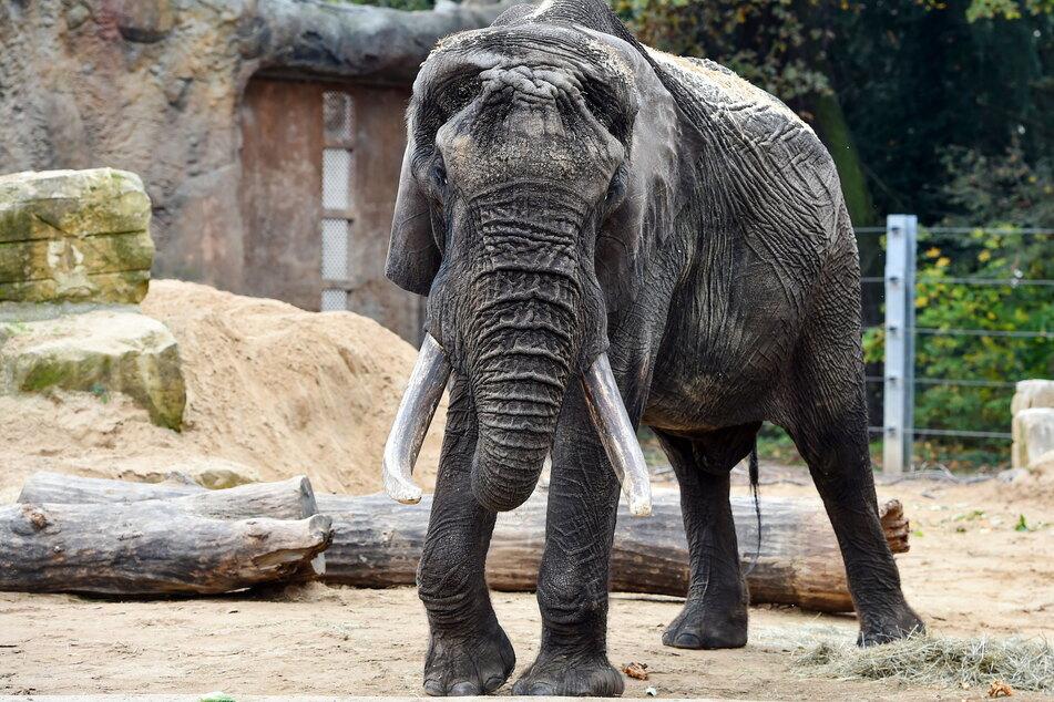 Elefantenbulle Tonga hatte schon den ersten Sex in Dresden.