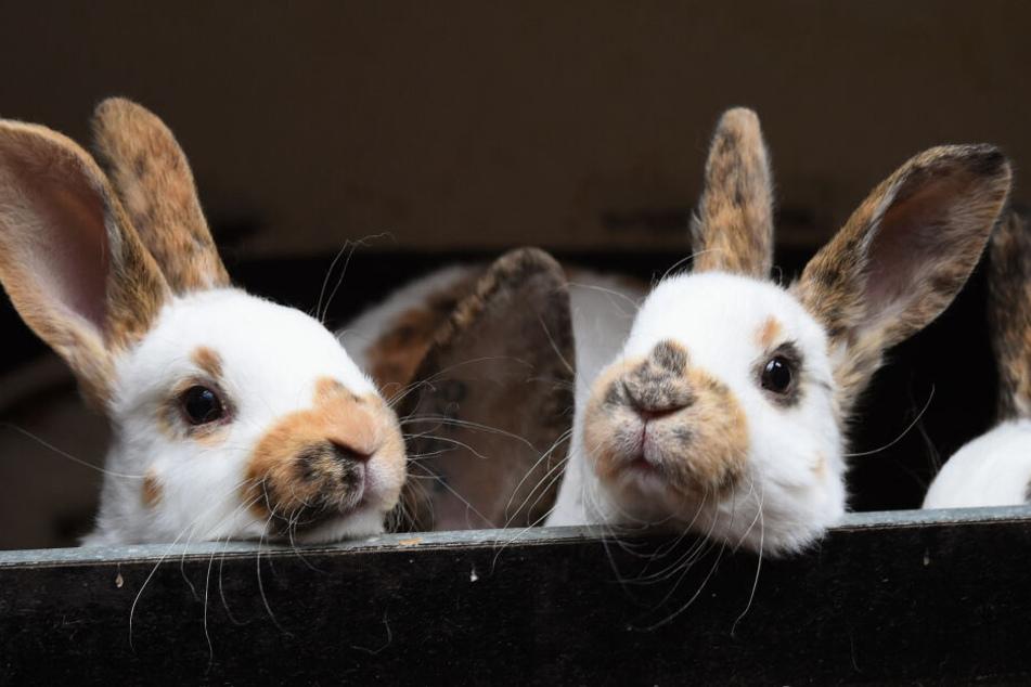 So sehen gut behütete Kaninchen aus.