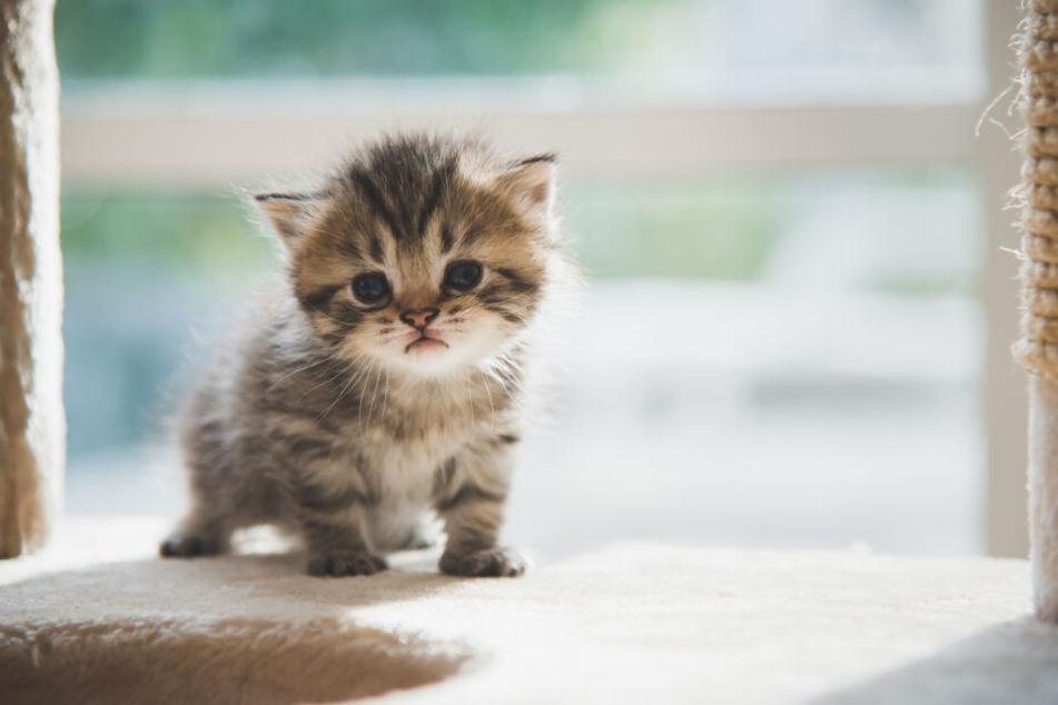 So süß: Perser Kitten entdeckt die Welt.