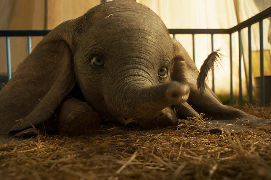 Ein Wunder: Dumbo verschluckt eine Feder, muss niesen und fliegt zum ersten Mal!