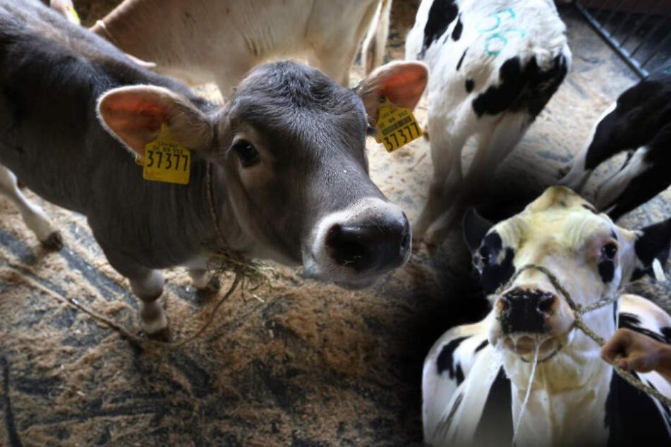 Neue Rinderseuche bringt Tierschützer und Bauern zum Verzweifeln