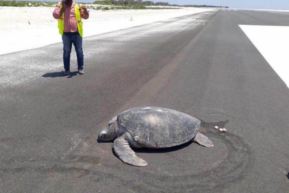 Die Schildkröte legte ihre Eier auf der neuen Landebahn ab.