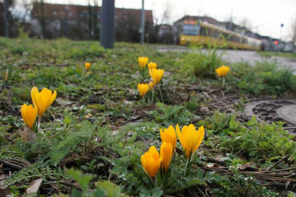 Die ersten Blüten stehen in den Startlöchern.