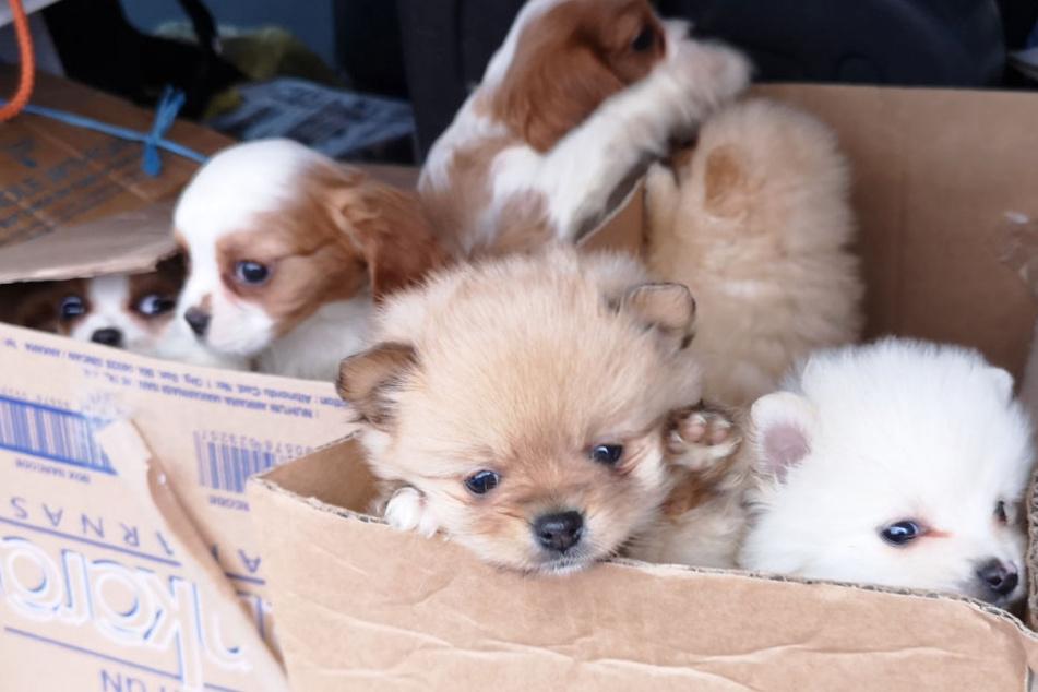 Welpen in Pappkartons: Polizisten stoppen Tierhandel an Tankstelle