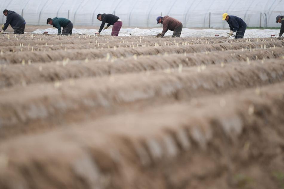 Saisonarbeiter stechen Spargel auf einem Hof.