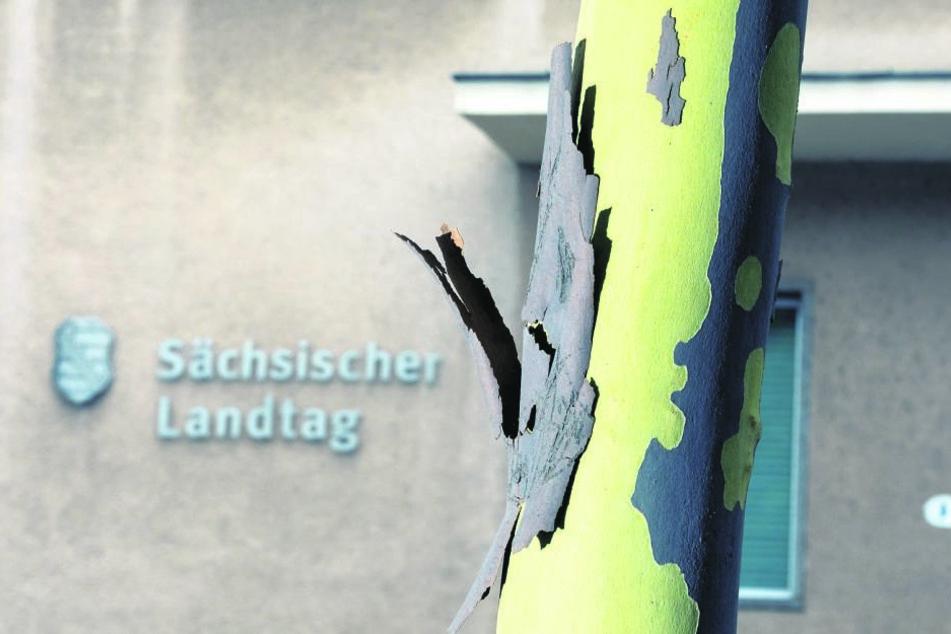 Platane vorm Landtag: Die abgestorbene Borke blättert ab, enthüllt die helle Rinde des wachsenden Baumes.