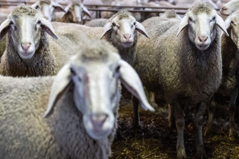 Sieben Schafe wurden tot aufgefunden. (Symbolbild)
