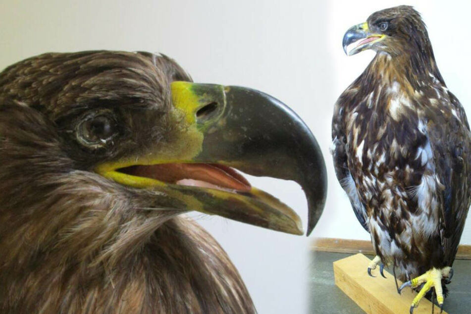 Tierpräparator will ausgestopften Adler verticken! Zoll stoppt russisches Paket