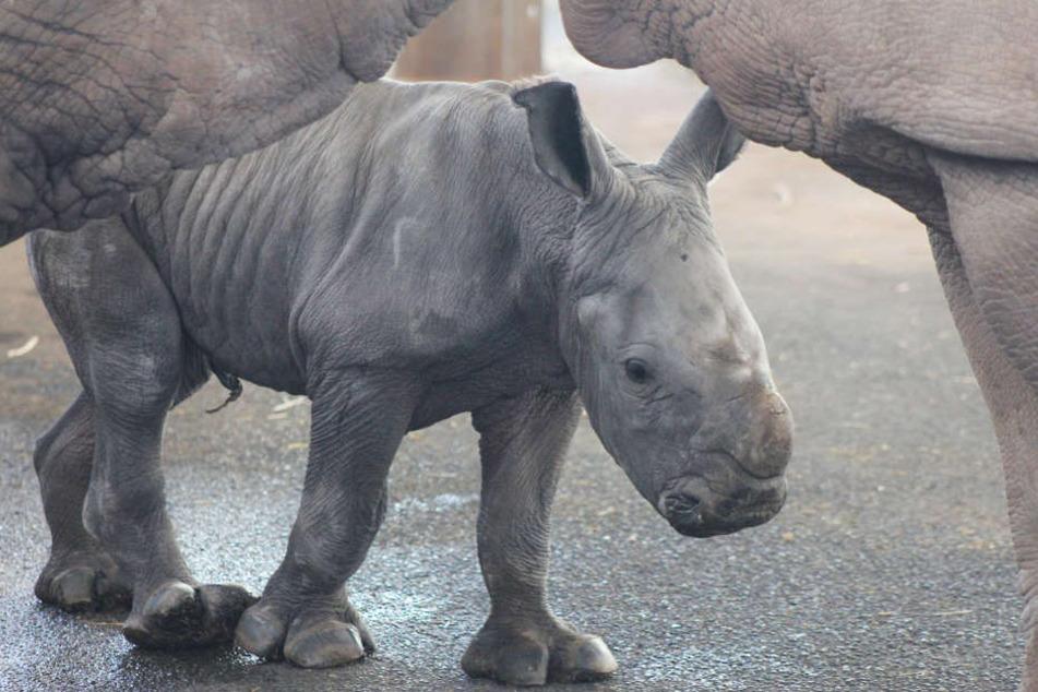 Das kleine Nashorn wird von seiner Mama nicht aus den Augen gelassen.
