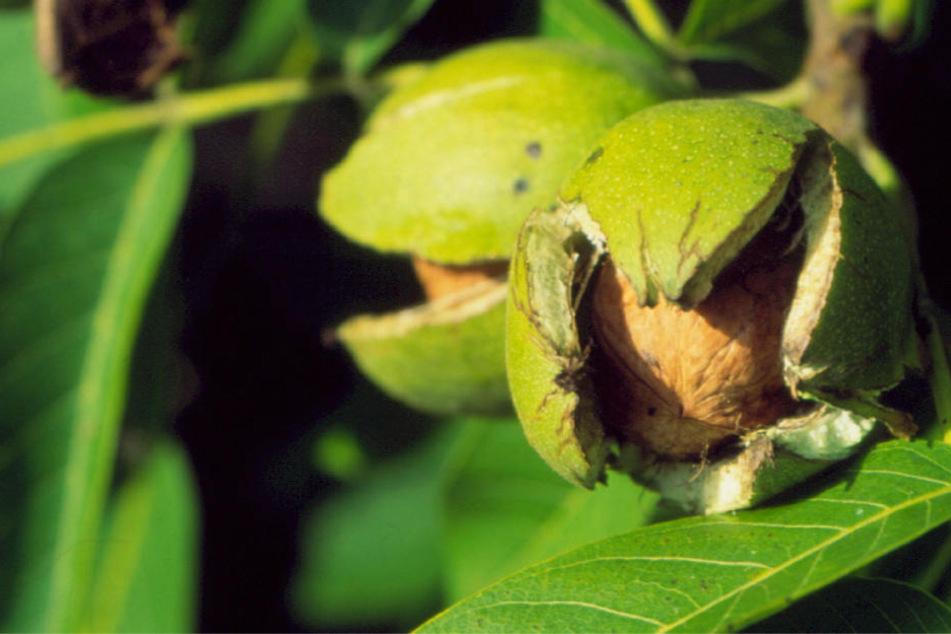 Ein guter Walnussbaum trägt pro Jahr bis zu 150 Kilogramm der vitamin- und mineralreichen Nüsse.